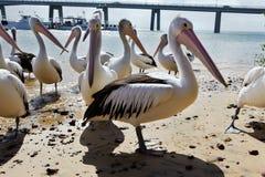 The Pelicans Stock Photo