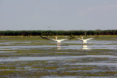 Pelicans. Two pelicans in Danube Delta, Romania. More that 50% of white pelicans breed in the Danube Delta stock images