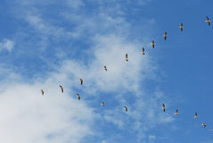 Pelicans. A flock of pelicans in flight Royalty Free Stock Image