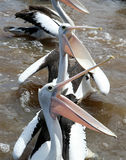 Pelicans. Open beak waitting for feeding Royalty Free Stock Photos