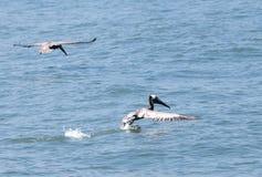 pelicans Stock Foto