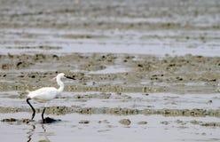pelicans Fotografie Stock Libere da Diritti