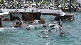 pelicans almacen de metraje de vídeo