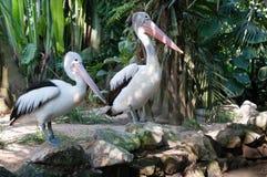 pelicans Fotografia de Stock Royalty Free