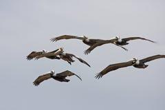 pelicans stock afbeelding