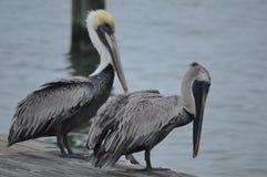 pelicans imagem de stock