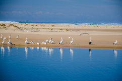 pelicans Imagen de archivo