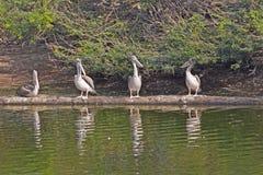 pelicans stock foto's
