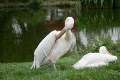pelicans Fotos de Stock Royalty Free
