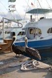 pelicans Immagini Stock