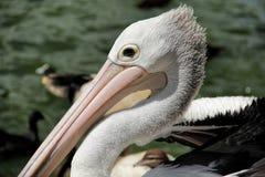 pelicans Fotos de Stock