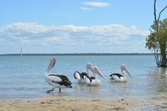 pelicans Fotografia de Stock