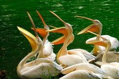 pelicans immagine stock