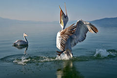 pelicans foto de stock royalty free
