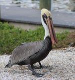 pelicans Foto de archivo libre de regalías