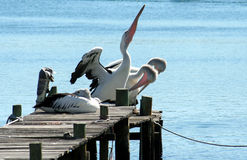 Pelicans. On the pier in Narooma in southern NSW, Australia Royalty Free Stock Photo