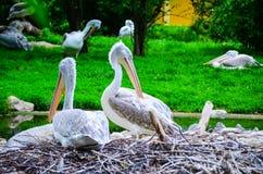 pelicans royalty-vrije stock afbeeldingen