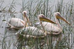 pelicans Fotos de archivo libres de regalías