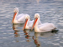 Pelicans. Three white pelicans on surface of water royalty free stock image