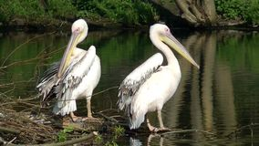 pelicans filme