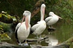 pelicans royalty-vrije stock afbeelding