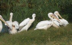pelicans Imagens de Stock