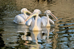 Pelicans. Three pelicans swimming in lake royalty free stock photos