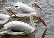 pelicans Royalty-vrije Stock Fotografie
