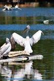 pelicans royalty-vrije stock foto's