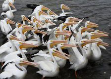 pelicans fotos de stock