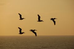 Pelicans against sunset royalty free stock images
