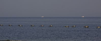 Pelicans all in a row at Seabrook Island SC Stock Image