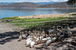 Pelicans anticipating a handout. Pelicans close in on a fish cleaning station Stock Photography