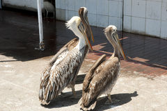 Pelicans - Arica - Chile. Pelicans in Arica City - Chile royalty free stock images