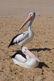 Pelicans Arvo Break in Western Australia stock photography