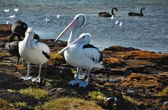 Pelicans. In Australia, near Melbourne, Pelecanus onocrotalus royalty free stock images