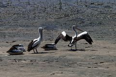 Pelicans in Australia 1. Pelicans in Australia, stretching their wings and necks in the morning royalty free stock photography