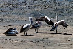 Pelicans in Australia 2. Pelicans in Australia, stretching their wings and necks in the morning royalty free stock image