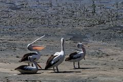 Pelicans in Australia 3. Pelicans in Australia, stretching their wings and necks in the morning stock photos