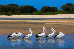 6 Pelicans Stock Photo