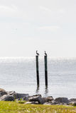 Pelicans on Backlit Posts Stock Photo