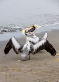 Pelicans on Ballestas Islands in Paracas National park. Peru. South America. Royalty Free Stock Images