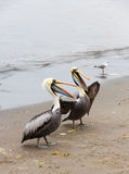 Pelicans on Ballestas Islands in Paracas National park. Peru. South America. Stock Photo