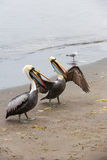 Pelicans on Ballestas Islands in Paracas National park. Peru. South America. Royalty Free Stock Photography