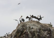 Pelicans on Ballestas Islands in Peru Royalty Free Stock Images