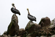 Pelicans on Ballestas Islands in Peru Royalty Free Stock Photos
