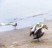 Pelicans on Ballestas Islands,Peru  South America in Paracas National park. Royalty Free Stock Photography