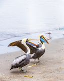 Pelicans on Ballestas Islands,Peru  South America in Paracas National park. Stock Image