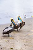 Pelicans on Ballestas Islands,Peru  South America in Paracas National park Stock Photography