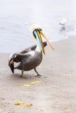 Pelicans on Ballestas Islands,Peru  South America in Paracas National park. Stock Photos
